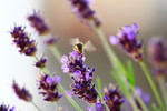 Biene Lavendel